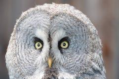 Coruja olhar fixamente Imagem de Stock
