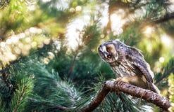 Coruja orelhuda longa na floresta Imagens de Stock