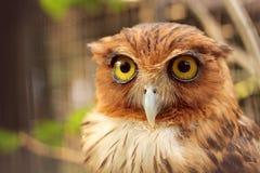 Coruja, pássaro, pássaro da sabedoria, Foto de Stock Royalty Free