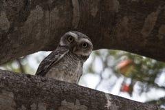 Coruja pequena manchada do filhote de coruja Foto de Stock
