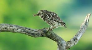 Coruja pequena (noctua do Athene) Foto de Stock