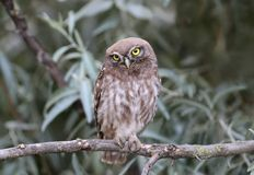 Coruja pequena nova que senta-se em ramos de silverberry Fotografia de Stock Royalty Free