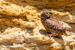 Coruja pequena ou noctua do Athene na rocha Imagens de Stock