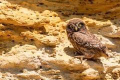 Coruja pequena ou noctua do Athene na rocha Fotos de Stock