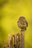 Coruja pequena selvagem Imagem de Stock Royalty Free