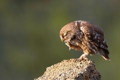 A coruja pequena senta-se em uma pedra e riscado em um fundo bonito Imagem de Stock
