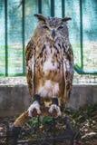 Coruja predadora, bonita com olhos intensos e plumagem bonita Fotografia de Stock