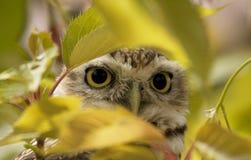 Coruja que espreita para fora atrás de uma folha acima em uma árvore fotografia de stock royalty free