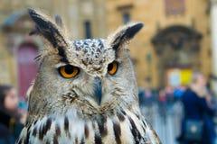 Coruja que olha fixamente em animais imagens de stock royalty free