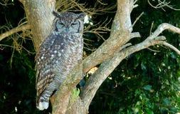 Coruja que senta-se na árvore - espreitando Fotografia de Stock