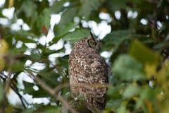 A coruja senta-se na árvore Fotos de Stock Royalty Free