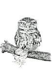 A coruja Tawny ilustração royalty free