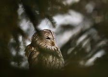 Coruja Tawny atrás da árvore conífera Imagem de Stock Royalty Free