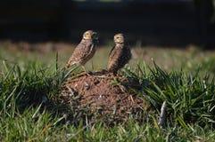 corujas em seu habitat Foto de Stock Royalty Free