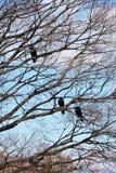 corvi Fotografie Stock