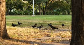 corvi Fotografia Stock Libera da Diritti