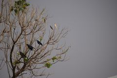 corvi Immagine Stock Libera da Diritti