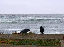 corvi Fotografie Stock Libere da Diritti
