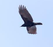 Corvi che volano nel cielo Fotografia Stock