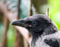 Corvi di gray del pulcino fotografia stock
