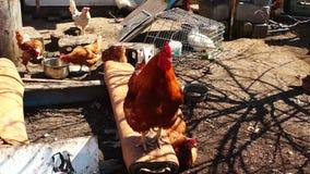 Corvi di un gallo di rosso video d archivio