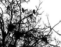 Corvi e nidi sui rami dell'albero Fotografie Stock