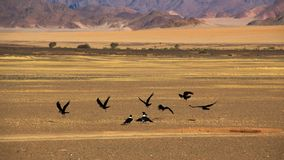Corvi nel deserto di namib Fotografia Stock Libera da Diritti