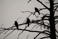 Corvi in siluetta in albero guasto Fotografia Stock Libera da Diritti