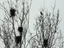 Corvi spaventosi che volano e che riposano sugli alberi stock footage