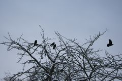 Corvi su un albero fotografia stock