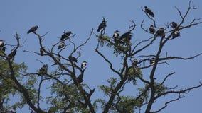 Corvi sul ramo, stormo di volo, folla del corvo in albero, uccello nero, fine su fotografia stock libera da diritti