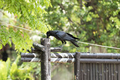 Corvidae bird Stock Photography