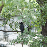 Corvidae bird Stock Photos