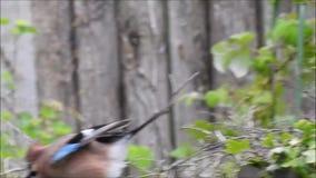_Corvidae británico jay pájaro cuervo urraca caza para jerarquizar material metrajes