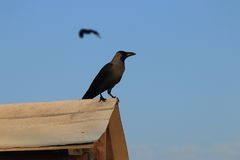 corvo Foto de Stock