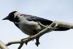 corvo Fotografia de Stock