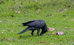 corvo Immagini Stock