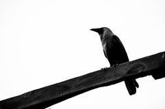 corvo Fotos de Stock