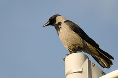 corvo Fotografia Stock
