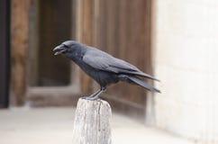 corvo Fotografie Stock Libere da Diritti