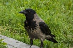 corvo Fotografia de Stock Royalty Free