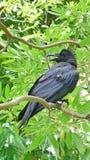 Corvo adulto nel parco Fotografia Stock