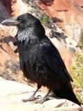 Corvo al canyon di Bryce Immagini Stock