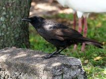 Corvo americano appollaiato sulla pietra Fotografia Stock