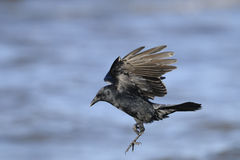 Corvo americano, brachyrhynchos del corvus Fotografie Stock Libere da Diritti