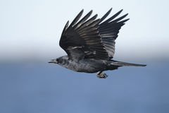 Corvo americano, brachyrhynchos do corvus Foto de Stock