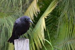 Corvo australiano  Foto de Stock Royalty Free
