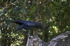 Corvo australiano Immagini Stock