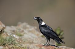 corvo Branco-necked Imagem de Stock Royalty Free
