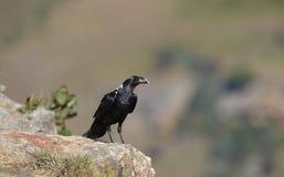 corvo Branco-necked Fotografia de Stock